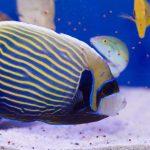 Emperor Angelfish - Adult