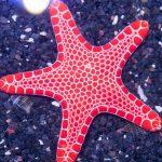 Sea Biscuit Starfish