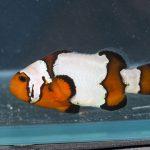 Black Ice Clownfish - Ultra