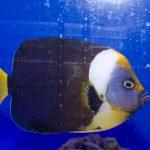 Personifer Angelfish - Female