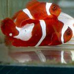 Gold Flake Maroon Clownfish