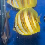 Rainford Butterflyfish