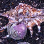 Spider Strombus Snail